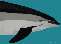 Atlantic white-sided dolphin - head