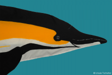 Common dolphin - head