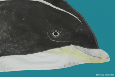 White-beaked dolphin - head